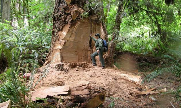 This May 21, 2013 photo provided by the National Park Service shows wildlife biologist Terry Hines standing next to a massive scar on an old growth redwood tree in the Redwood National and State Parks near Klamath, Calif., where poachers have cut off a burl to sell for decorative wood. The park recently took the unusual step of closing at night a 10-mile road through a section of the park to deter thieves. (AP Photo/Redwood National and State Parks, Laura Denn)