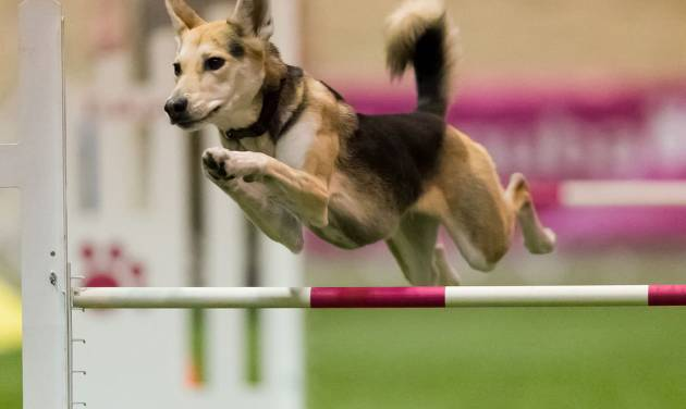 In this Dec. 14, 2012 photo provided by Great Dane Photos, Roo! clears a hurdle during an agility competition in Orlando, Fla. The husky mix will be one of about 225 agility dogs whizzing through tunnels, around poles and over jumps as she competes in the Westminster Dog Show's new agility competition in February 2014. The agility competition is open to mix-breeds as well as pedigrees. (AP Photo/Great Dane Photos, Amy Johnson) NO SALES