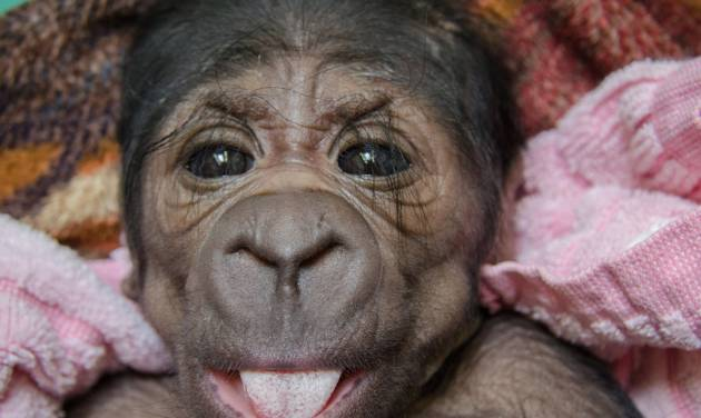 The Oklahoma City Zoo has a new arrival – a female Western lowland gorilla. The baby gorilla was born in the early hours of Saturday inside a Great EscApe day room to mother Ndjole and father Togo.     PROVIDED