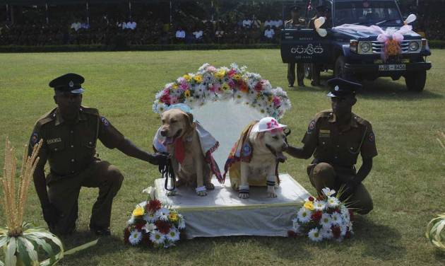 "In this Monday, Aug.26, 2013 photograph, Sri Lankan policemen hold a pair of sniffer dogs as they hold a wedding ceremony of nine pairs of police dogs in Kandy, Sri Lanka. Sri Lanka police have apologized for holding a wedding ceremony for sniffer dogs after the country's culture minister condemned the event and demanded an investigation. The dogs dressed in shawls, hats and socks were placed on a decorated platform like those used in traditional weddings in the ceremony Monday, part of a breeding program. They were later driven away in a decorated police jeep for their ""honeymoons."" (AP Photo)"
