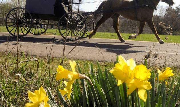 FILE - This March 27, 2012 file photo shows an Amish buggy passing a bunch of daffodils along Route 44 in Madison Township near White Hall, Pa. The harvest season is nearing its glorious end, and the culture, architecture and history of Pennsylvania's Amish country can be seen for free in Lancaster County, where many Amish settled, starting in the early 1700s. (AP Photo/Bloomsburg Press Enterprise, Jimmy May, file)