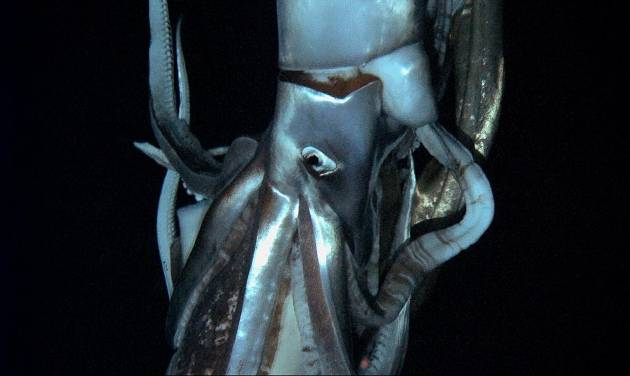In this television image made from video recorded in the summer of 2012 provided by NHK and Discovery Channel, a giant squid swims in the deep sea off Chichi island, Japan. (AP Photo/ NHK/NEP/Discovery Channel ) EDITORIAL USE ONLY, MANDATORY CREDIT