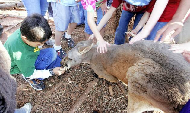 """Junior Zookeeper Virgil Hope, 11, of Pauls Valley feeds a piece of bread to """"Jackson,"""" a blind red kangaroo at Little River Zoo.   Oklahoman archive pHOTO BY JACONNA AGUIRRE"""