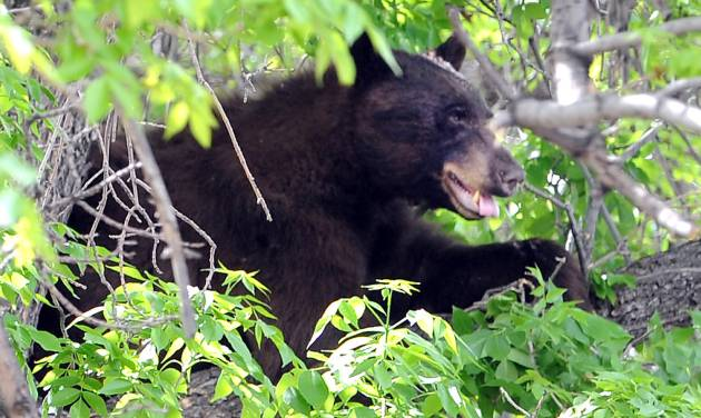 An adult male black bear hides up a tree in Williams Village on the University of Colorado campus in Boulder on Thursday. April 26, 2012. (AP Photo/The Daily Camera, Cliff Grassmick) NO SALES