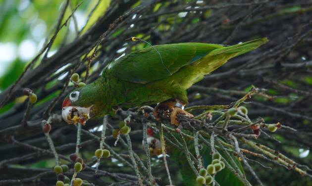 In this undated 2014 photo provided by Puerto Rico's Department of Natural Resources shows a breeding endangered Puerto Rican parrot near the Rio Abajo Nature Preserve, in Puerto Rico.  The parrot  who is wearing an electronic monitoring device and a tag is one of a pair of birds that had been reintroduced into the wild by scientists. Officials say that two endangered Puerto Rican parrots where born from the introduced breeding pair and are the first ones born in the wild outside a national forest, in a natural nest, for the first time in 144 years. (AP Photo/DRNA, Tanya Martínez)