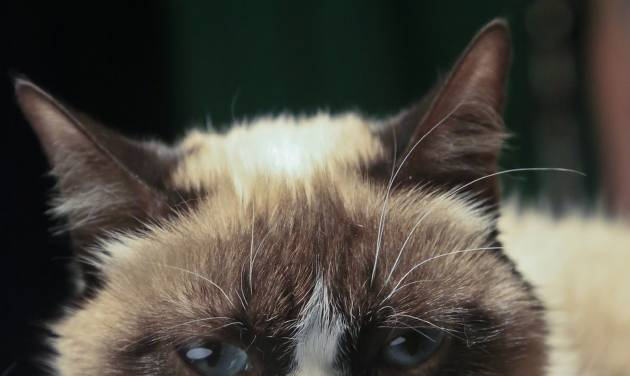 Grumpy Cat, an Internet celebrity cat whose real name is Tardar Sauce, is photographed on Friday April 4, 2014 in New York. Known for her facial expression, her owner Tabatha Bundesen says that Grumpy Cat's permanently grumpy-looking face is due to feline dwarfism.  (AP Photo/Bebeto Matthews)