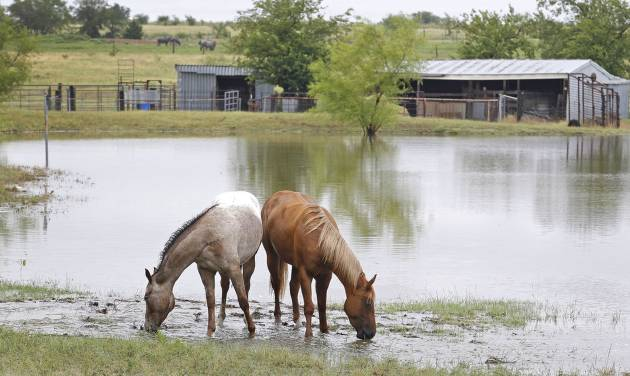 Horses graze near floodwaters in a yard off of Ganzer Road West in Krum, Texas on Thursday, July 17, 2014 after heavy rains in the area. (AP Photo/Fort Worth Star-Telegram, Paul Moseley)