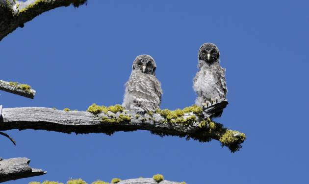 In this July 2012 photo released by the National Park Service, two juvenile Great Gray Owls are shown on a tree branch in Yosemite National Park. The unique Great Gray Owls of Yosemite National Park, left to evolve after glacial ice separated them from their plentiful Canadian brethren 30 millennia ago, are both a mystery and concern to the scientists charged with protecting them. (AP Photo/National Park Service)