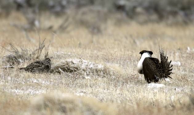 This April 2011 photo provided by Colorado Parks and Wildlife shows a male and female Gunnison sage grouse near Gunnison, Colo. The obscure, chicken-sized bird, best known for its mating dance, could help determine whether Democrats or Republicans control the U.S. Senate in November. The federal government is considering listing the greater sage grouse as an endangered species next year. Doing so could limit development, energy exploration, hunting and ranching on the 165 million acres of the bird's habitat across 11 Western states. (AP Photo/Colorado Parks and Wildlife, Mike Danzenbaker)