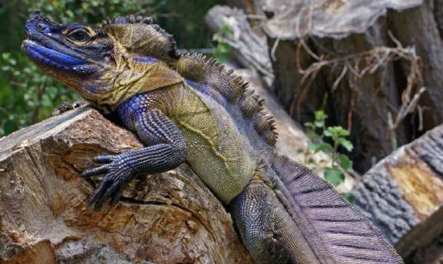 The brightly colored sailfin dragon that has been declared a vulnerable species by the International Union for Conservation and Nature is highly prized on the black market.  Photo provided
