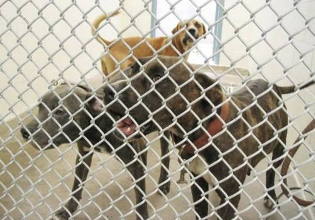 2006 file photo of 3 pit  bull  terriers at the Bethany animal shelter - Photo by Robert Medley