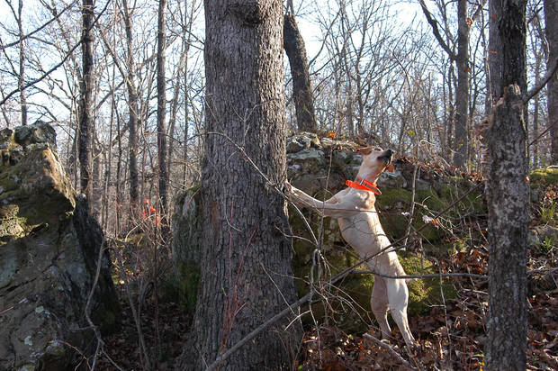 A 5-year-old mountain cur has treed another squirrel. Mountain curs are one of the several breeds of hunting dogs that will be featured at the Oklahoma Wildlife Expo Sept. 29-30 at the Lazy E Ranch and Arena in Guthrie. Photo by Michael Bergin.