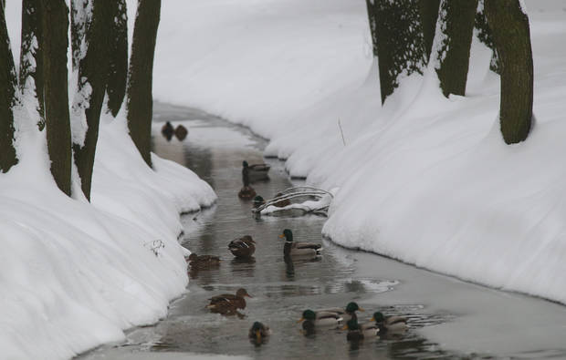 Ducks swim in the still unfrozen water or stand on the ice in a small river after snowfall in the Belarusian capital Minsk, Tuesday, Dec. 11, 2012. The weather forecast predicts continuing snowfall for the next days in Belarus. (AP Photo/Sergei Grits)