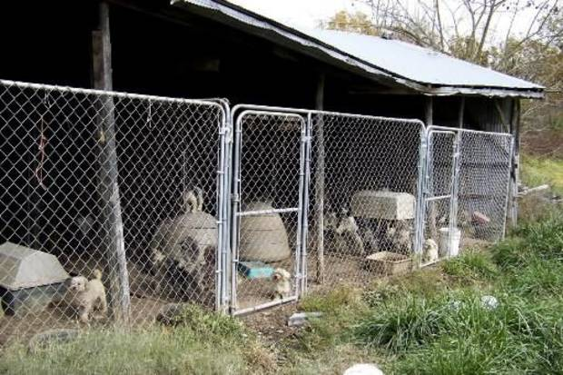 Over 100 dogs, mostly cocker spaniels and miniature poodles were rescued from a  Delaware County  puppy mill.  Delaware County authorities said approximately 10 dogs were housed in 4 x 3 pens. Photo provided by Grove Sun Daily