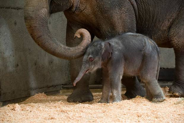 This Friday Nov. 30, 2012 photo provided by the Oregon Zoo shows a newborn female Asian elephant calf in the elephant maternity ward with her mother Rose-Tu at the Oregon Zoo in Portland, Ore. The Oregon Zoo says Rose-Tu gave birth to the 300-pound female calf at 2:17 a.m. Friday, and the youngster is healthy, vigorous and loud. (AP Photo/Oregon Zoo, Michael Durham)