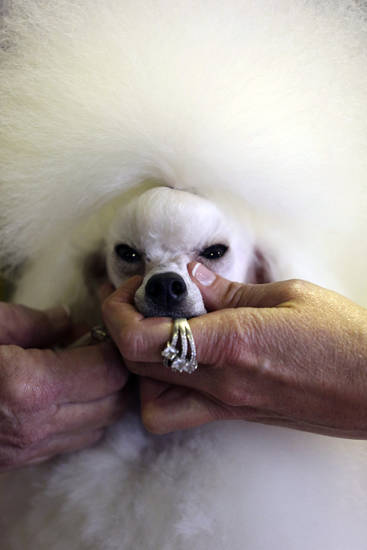 Angel, a 2-year-old Toy Poodle from Houston, Texas, is groomed prior to competition during the 137th Westminster Kennel Club dog show, Monday, Feb. 11, 2013 in New York. (AP Photo/Mary Altaffer) ORG XMIT: NYMA107