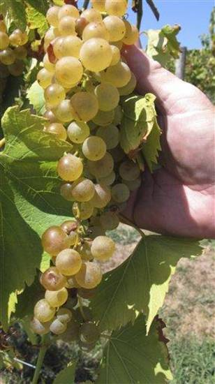 In this Aug. 15, 2012 photo, grapes that weathered a summer of drought that gripped much of the Midwest ripen close to harvest in the six-acre vineyard at OakGlenn Winery near Hermann, Mo. While the drought proved ruinous for many other crops, vintners say grapes held their own, producing sweeter fruit with more concentrated flavor that could give wine enthusiasts something to cheer. (AP Photo/Jim Suhr)