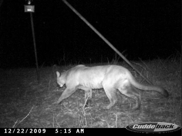 This mountain lion was captured on Ryan Ritter&amp;#8217;s trail camera near Atoka in southeastern Oklahoma.  PHOTO PROVIDED