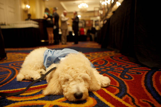 KD the labradoodle puppy sits in the the silent auction room during the KD 35 Ball benefiting the Kevin Durant Family Foundation at the Skirvin Hilton Hotel in Oklahoma City, Saturday, March 31, 2012. The puppy was on the silent auction list. Photo by Sarah Phipps The Oklahoman