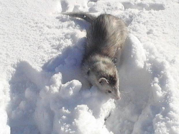 Bruce Lee (family ferret) loves to go outside and play in the snow!<br/><b>Community Photo By:</b> Richelle McIver<br/><b>Submitted By:</b> richelle, Midwest City