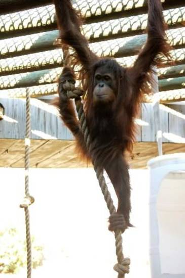 Elok is a Sumatran orangutan who came to the Oklahoma City Zoo in 2009. He's described as curious, clever and agile.