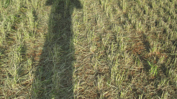 Hail damaged wheat near Banner. Several late spring freezes have left the state's wheat crops vulnerable to hail damage. <strong> - PROVIDED BY THE OKLAHOMA WHEAT C</strong>