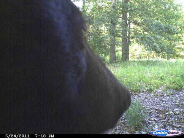The face of this black bear was photographed on a camera north of Tahlequah <strong>GARY HARDESTY - PHOTO PROVIDED</strong>
