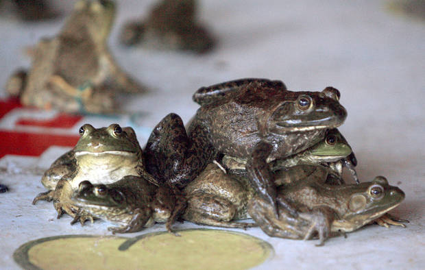 Frogs collide during the frog and turtle races at Camp DaKaNi in Oklahoma City.  PHOTOS BY SARAH PHIPPS, THE OKLAHOMAN