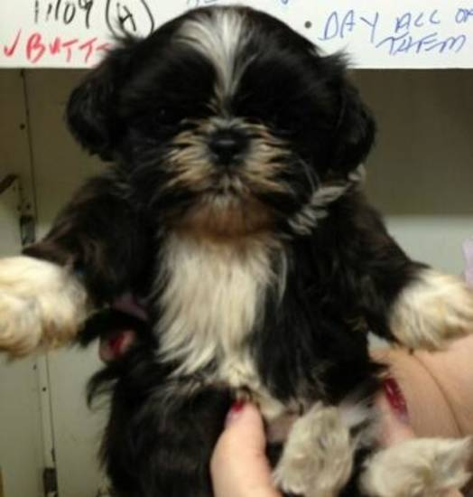 This shih-tzu puppy was stolen from a Noble kennel Dec. 17. The Cleveland County Sheriff's Office is seeking help in finding the dog. PHOTO PROVIDED <strong></strong>