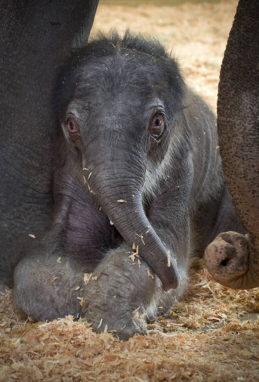 In this Dec. 1, 2012 photo released by the Oregon Zoo, a one day old Asian elephant calf is shown in the elephant maternity ward with her mother Rose-Tu at the Oregon Zoo in Portland, Ore. The Oregon Zoo hopes to retain possession of the baby elephant that was born Friday in Portland, but it won't own the animal. The zoo confirms a report in The Seattle Times that the calf is owned by a Perris, Calif., company called Have Trunk Will Travel under a breeding contract that sent the father, Tusko, to the zoo in 2005. (AP Photo/Oregon Zoo, Michael Durham)