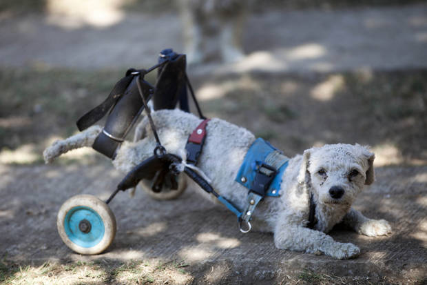 "Menta, equipped with a dog wheelchair, takes a rest at the ""Milagros Caninos,"" sanctuary for abused and abandoned dogs, in Mexico City, Friday, Jan. 11, 2013. About 128 abused dogs are sheltered at the Milagros Caninos sanctuary. Dogs on wheelchairs, blind, deaf or ill frolic and run around the huge sanctuary in the southern part of Mexico City. (AP Photo/Eduardo Verdugo)"