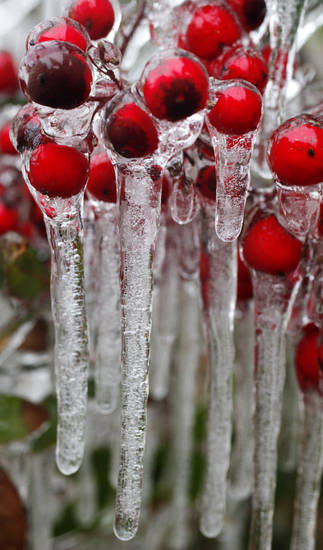 Ice forms on a plant in Norman Thurs. Jan. 28, 2010. Photo by Jaconna Aguirre, The Oklahoman.