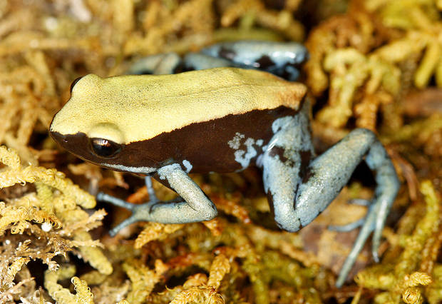 A blue-legged mantella in its habitat at the Oklahoma City Zoo, Thursday, Feb. 23,  2012. Photo By Steve Gooch, The Oklahoman