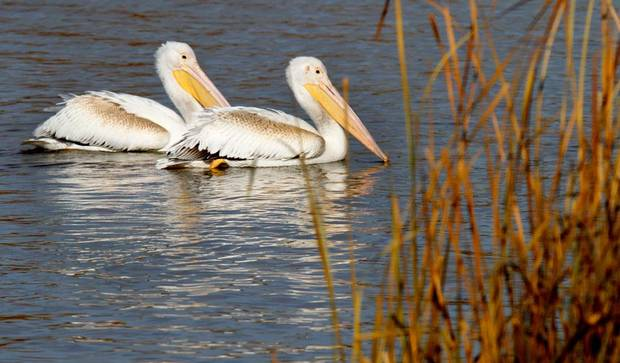 White pelicans make a stop at the Oklahoma City Zoo lake during its migration south in Oklahoma City, Thursday December, 8,  2011. Photo by Steve Gooch, The Oklahoman.
