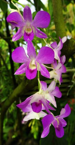 MYRIAD BOTANICAL GARDENS / ORCHIDS / ORCHID:  Close-up of Dendrobium variety orchid.  Staff photo by Paul B. Southerland.  Photo dated 09/11/2000.