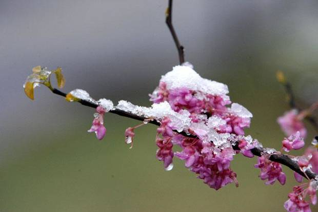 This blooming Redbud tree is coated with a frosting of snow in north Oklahoma City, Saturday, March 28, 2009. PHOTO BY PAUL HELLSTERN, THE OKLAHOMAN