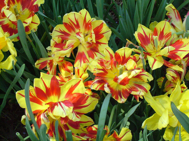 "Red and yellow striped tulips at ""Dallas Blooms"" at the Dallas Arboretum on Mar. 20.<br/><b>Community Photo By:</b> Lin Archer<br/><b>Submitted By:</b> Lin,"