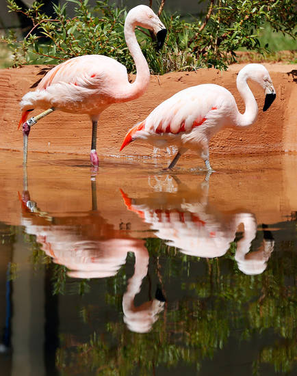 Chilean flamingos walk through a pond at the Oklahoma City Zoo in Oklahoma City, Wednesday, July 10, 2013. Photo by Nate Billings, The Oklahoman