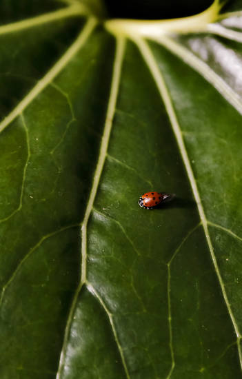 A ladybug crawls across a leaf during the ladybug release at the Myriad Botanical Gardens/Crystal Bridge on Tuesday, May 7, 2013, in Oklahoma City, Okla. Photo by Chris Landsberger, The Oklahoman ORG XMIT: KOD
