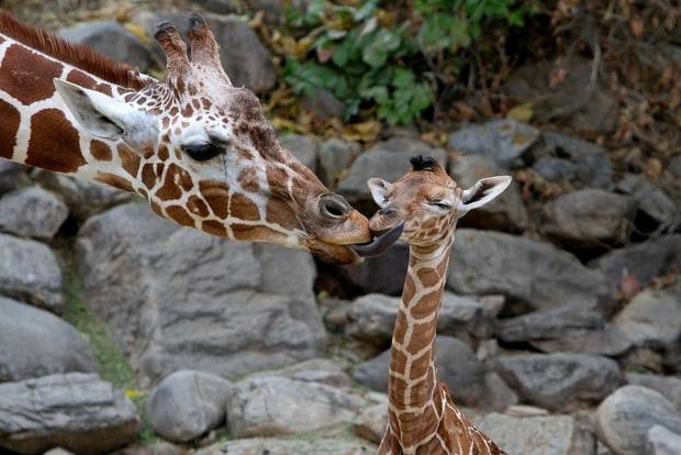 In this Sept. 23, 2012 photo provided by Utah's Hogle Zoo, mother giraffe Kipenzi licks her baby girl shortly after birth. The new baby giraffe and her mother went on display at Utah's Hogle Zoo for the first time on Oct. 3, 2012. (AP Photo/Utah's Hogle Zoo)