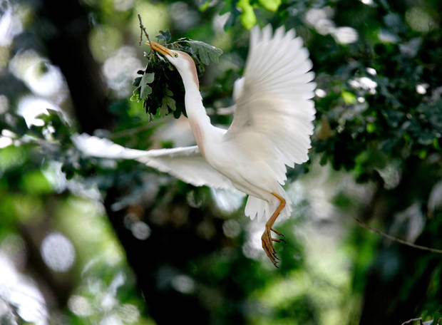 An egret takes flight near NW 10 and Council Road in Oklahoma City. Midwest City officials are gearing up for an egret invasion this spring.