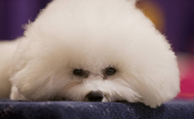 A Bichon Frise rests before competing in the The Westminster Kennel Club Dog Show Monday, Feb. 11, 2013, at Madison Square Garden in New York.(AP Photo/Frank Franklin II) ORG XMIT: MSG101