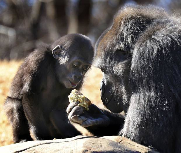 Kelele, a Western Lowland gorilla feeds a cupcake to her one year old baby Leom, during a party to celebrate his birthday at the Oklahoma City Zoo, Friday February 14, 2014. Leom, was born on Valentine's Day 2013 and can be seen at the Great EscApe. Photo By Steve Gooch, The Oklahoman