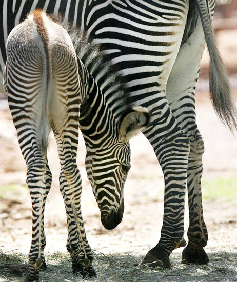 A new zebra foal stays close to his mother at the Oklahoma City Zoo. The foal was recently allowed to roam in the public portion of its habitat.  PHOTO BY ASHLEY MCKEE, THE OKLAHOMAN