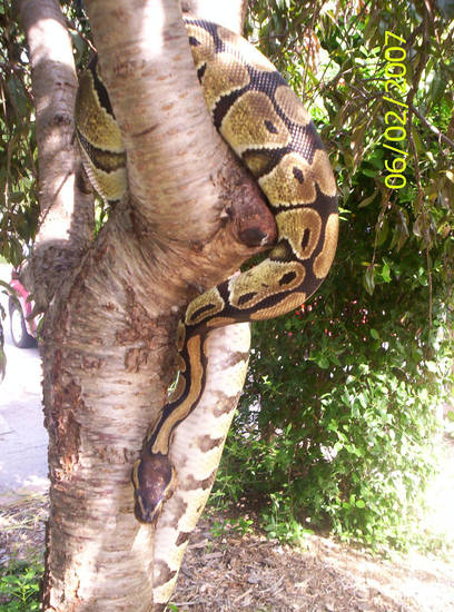 our pet snake .. believe me I was so afraid of snakes but this snake is like really pretty in the sunlight he turns gold and glitters.. but fights me when it's time to get out of the tree...<br/><b>Community Photo By:</b> Tama kirkpatrick<br/><b>Submitted By:</b> Tama, Midwest