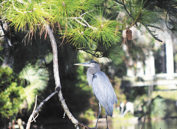A great blue heron perches on a branch hanging over a lagoon at Palmetto Dunes Resort. Photo by Wesley K.H. Teo