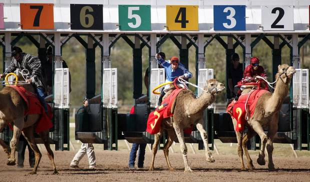 CAMEL RACING / RACES: From left to right, Scott Wells and Sandblaster, G.R. Carter and Little Sheeba, and Jennifer Schmidt and Sahara Sara race camels during Extreme Racing, Sunday, April 10, 2011, at Remington Park in Oklahoma City. Photo by Sarah Phipps, The Oklahoman ORG XMIT: KOD