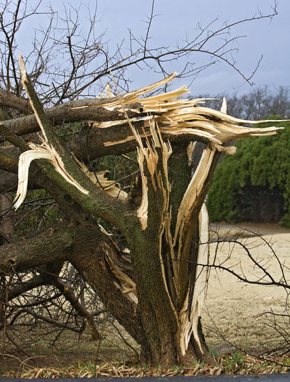 A damaged tree that was hit by the tornado that hit north Edmond on Tuesday, Feb. 10, 2009, in Edmond, Okla.  PHOTO BY CHRIS LANDSBERGER, THE OKLAHOMAN