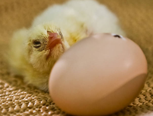 A baby chick just hatched from the egg on display in AGtropolis at the Oklahoma State Fair at State Fair Park on Friday, Sept. 14, 2012, in Oklahoma City, Oklahoma.  Photo by Chris Landsberger, The Oklahoman