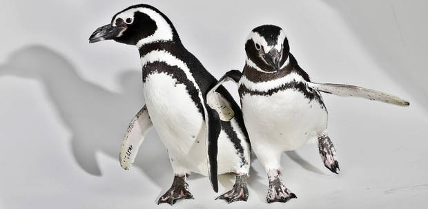 Magellanic Penguins Penny and Pete roam the studio on a visit to the OPUBCO office from SeaWorld on Thursday, Feb. 21, 2013, in Oklahoma City, Okla. Photo by Chris Landsberger, The Oklahoman